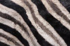Fundo da zebra Foto de Stock