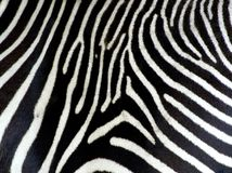 Fundo da zebra Imagens de Stock
