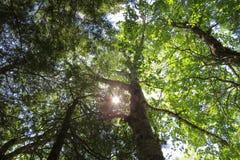 Fundo das árvores Imagem de Stock Royalty Free