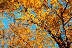 Fundo das árvores da queda - o ramo de árvore do bordo com folha alaranjada iluminou-se pela luz do sol, paisagem ensolarada da q imagem de stock royalty free