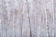 Fundo das árvores de vidoeiro foto de stock royalty free