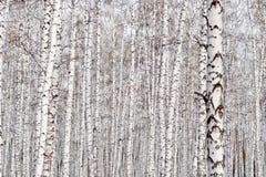 Fundo das árvores de vidoeiro fotos de stock royalty free