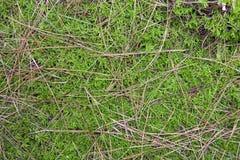 Fundo das agulhas do musgo e do pinho Imagens de Stock Royalty Free