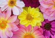 Fundo das dálias amarelas, vermelhas, roxas Foto de Stock Royalty Free
