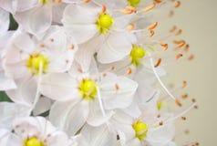Fundo das flores brancas Imagem de Stock