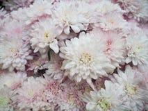 Fundo das flores brancas Fotos de Stock