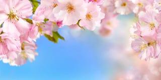 Fundo das flores de cerejeira imagens de stock
