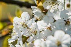 Fundo das flores de cerejeira Fotografia de Stock
