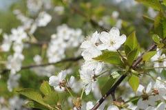 Fundo das flores de cerejeira e das folhas verdes frescas na luz solar do dia ensolarado na primavera Foto de Stock