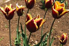 Fundo das flores de tulipas vermelhas no campo imagens de stock