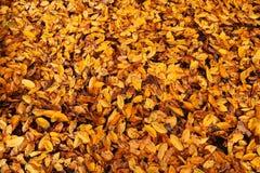 Fundo das folhas amarelas pequenas na terra imagem de stock royalty free