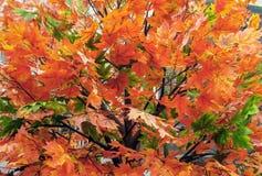 Fundo das folhas brilhantes de um bordo no parque da cidade do outono imagem de stock royalty free