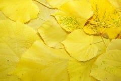 Fundo das folhas caídas amarelas Fotos de Stock Royalty Free