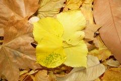 Fundo das folhas caídas amarelas e marrons Imagens de Stock