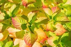 Fundo das folhas da hortênsia do outono Fotografia de Stock