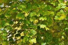 Fundo das folhas de bordo verde-amarelas em um dia do outono fotografia de stock