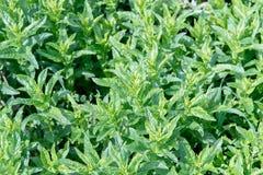 Fundo das folhas de hortelã Folhas frescas da pastilha de hortelã do close up no fundo verde Propriedades reconfortantes da pasti Imagens de Stock