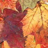 Fundo das folhas de outono Imagens de Stock Royalty Free