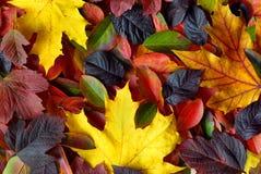 Fundo das folhas de outono Imagens de Stock