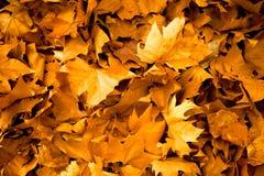 Fundo das folhas de outono nas máscaras do amarelo Foto de Stock Royalty Free