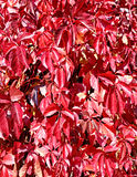 Fundo das folhas de outono vermelhas brilhantes Imagem de Stock Royalty Free