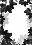 Fundo das folhas de plátano Fotografia de Stock