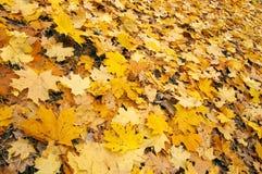 Fundo das folhas de plátano do outono Fotografia de Stock Royalty Free