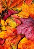 Fundo das folhas de plátano do outono Leav colorido bonito do bordo Imagens de Stock