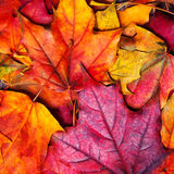 Fundo das folhas de plátano do outono Leav colorido bonito do bordo Foto de Stock Royalty Free
