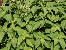 Fundo das folhas do verde com flores Imagens de Stock