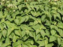 Fundo das folhas do verde com flores Imagens de Stock Royalty Free