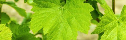 Fundo das folhas frescas da uva fotografia de stock