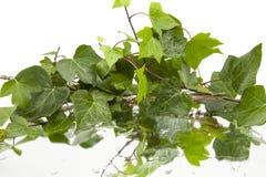 Fundo das folhas molhadas da hera no espelho fotografia de stock