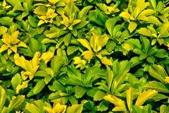 Fundo das folhas verde-amarelas Fotos de Stock Royalty Free