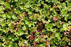 Fundo das folhas verdes Imagem de Stock