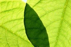 Fundo das folhas verdes Foto de Stock
