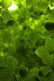 Fundo das folhas verdes Fotografia de Stock Royalty Free