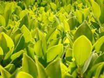 Fundo das folhas verdes Fotos de Stock Royalty Free