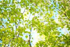 Fundo das folhas verdes da bétula Fotografia de Stock