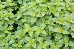 Fundo das folhas verdes de Melissa uma planta típica para o sabor fotografia de stock