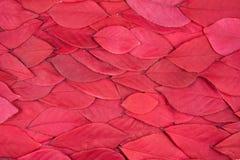 Fundo das folhas vermelhas Imagens de Stock Royalty Free