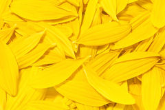 Fundo das pétalas amarelas do girassol Imagem de Stock