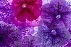 Fundo das pétalas da flor Fotografia de Stock