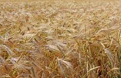 Fundo das plantas do trigo Imagem de Stock