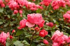 Fundo das rosas Imagem de Stock Royalty Free