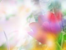 Fundo das tulipas do borrão Imagens de Stock Royalty Free