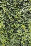 Fundo das uvas selvagens Foto de Stock Royalty Free