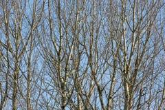 Fundo de árvores desencapadas contra um céu azul na mola adiantada Imagem de Stock