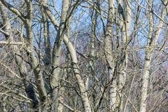 Fundo de árvores desencapadas contra um céu azul na mola adiantada Foto de Stock