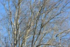 Fundo de árvores desencapadas contra um céu azul na mola adiantada Fotografia de Stock
